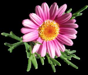 Beautiful daisy