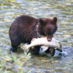 Bear in River with Fish